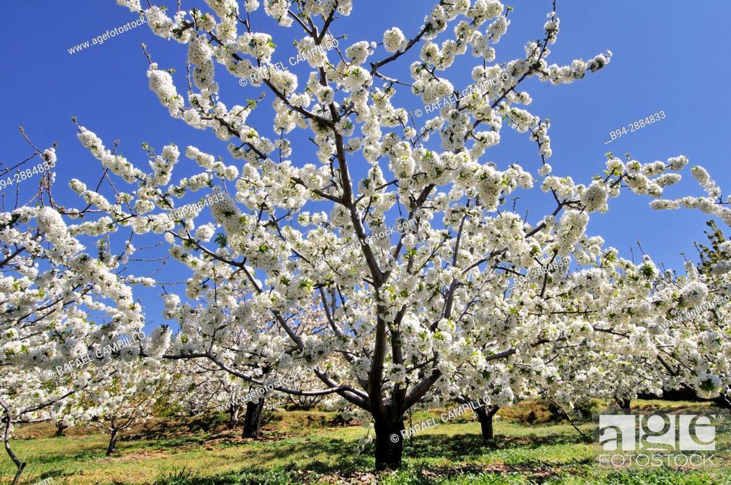 Stock Photo: Cherry blossoms trees. Jerte valley. Caceres. Extremadura. Spain.