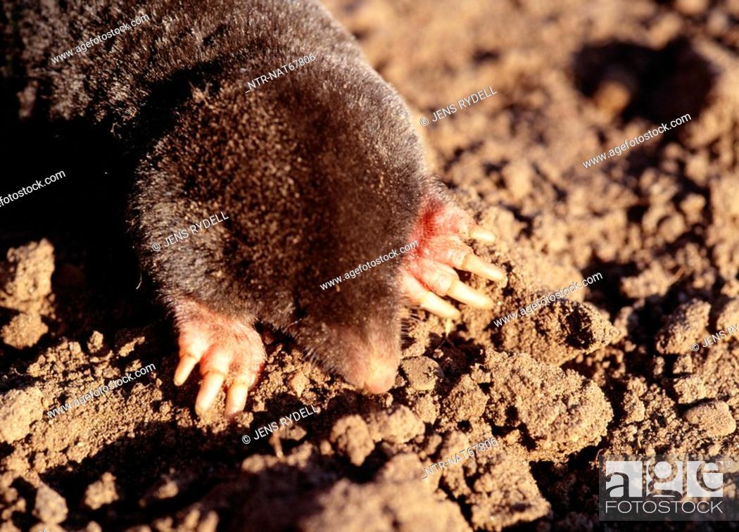 Stock Photo: Rat overhead view.