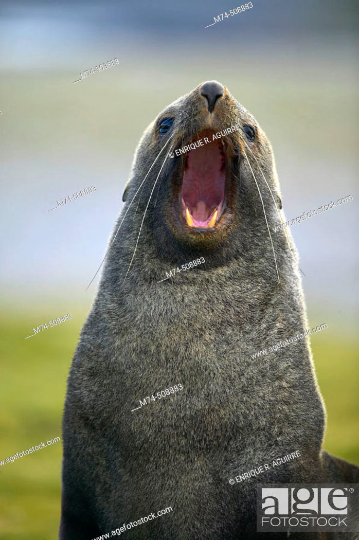 Stock Photo: Antarctic Fur Seal (Arctocephalus gazella). South Georgia, UK.
