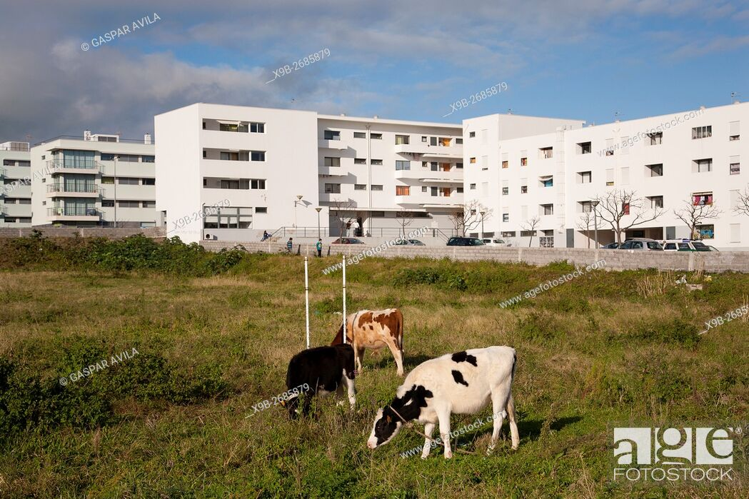 Stock Photo: Holstein cows in a field near residential buildings in the city of Ponta Delgada. Sao Miguel island, Azores, Portugal.