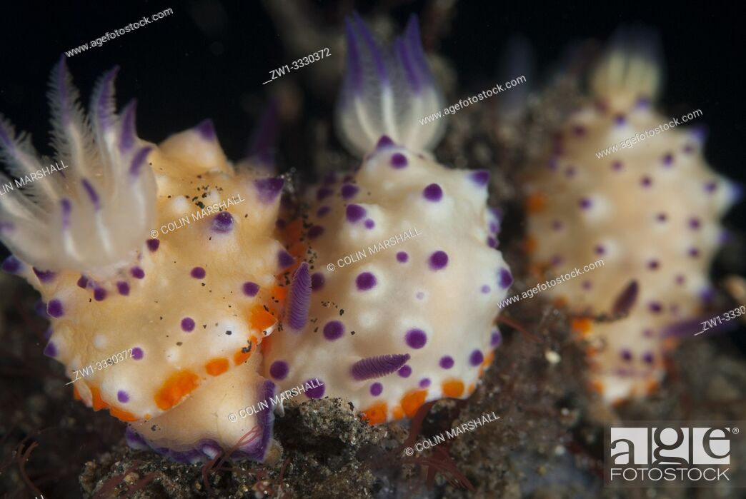 Stock Photo: Trio of Multi-pustuled Mexichromis Nudibranches (Mexichromis multituberculata, Chromodorididae family), Hairball dive site, Lembeh Straits, Sulawesi, Indonesia.