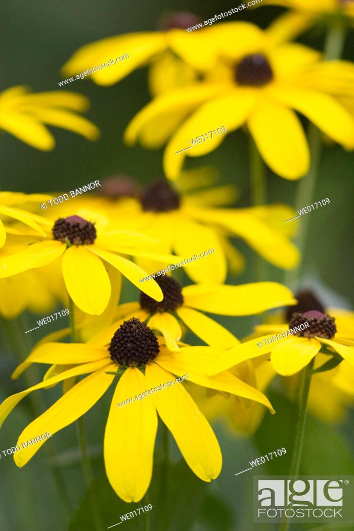 Stock Photo: Sweet black-eyed Susan (Redbeckia submentosa) flowers. Cook County, Illinois USA.