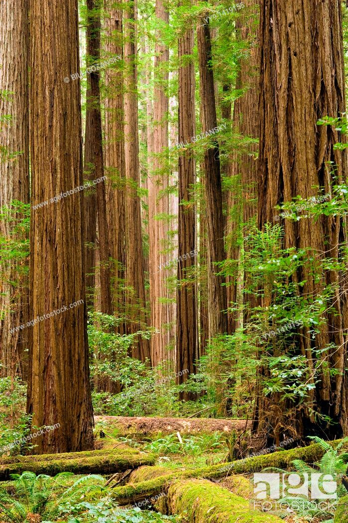 Stock Photo: Redwood forest - Humboldt Redwoods State Park, California.