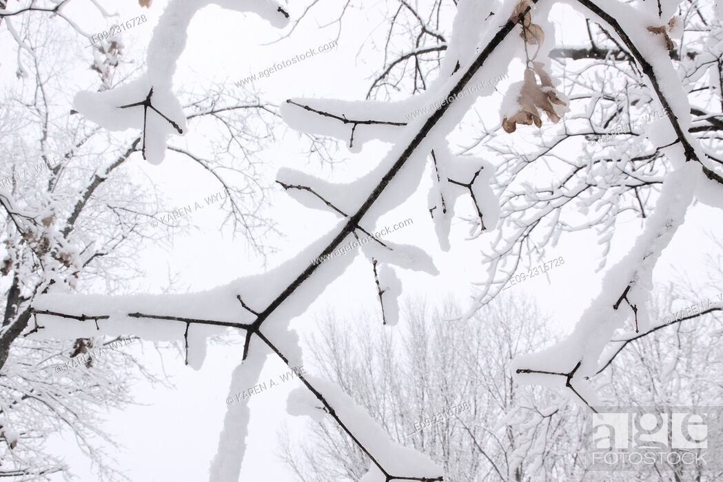 Stock Photo: closeup of snowy branches against almost-white sky, Monroe County, IN.