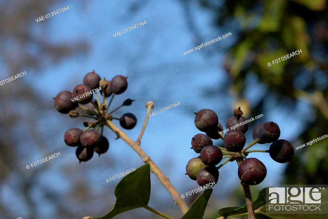 Stock Photo: wiesen, felder, berne, berries, berry tree, berrybush, bilberries.