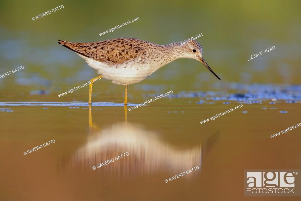 Stock Photo: Marsh Sandpiper (Tringa stagnatilis), side view of an adult standing in the water, Campania, Italy.