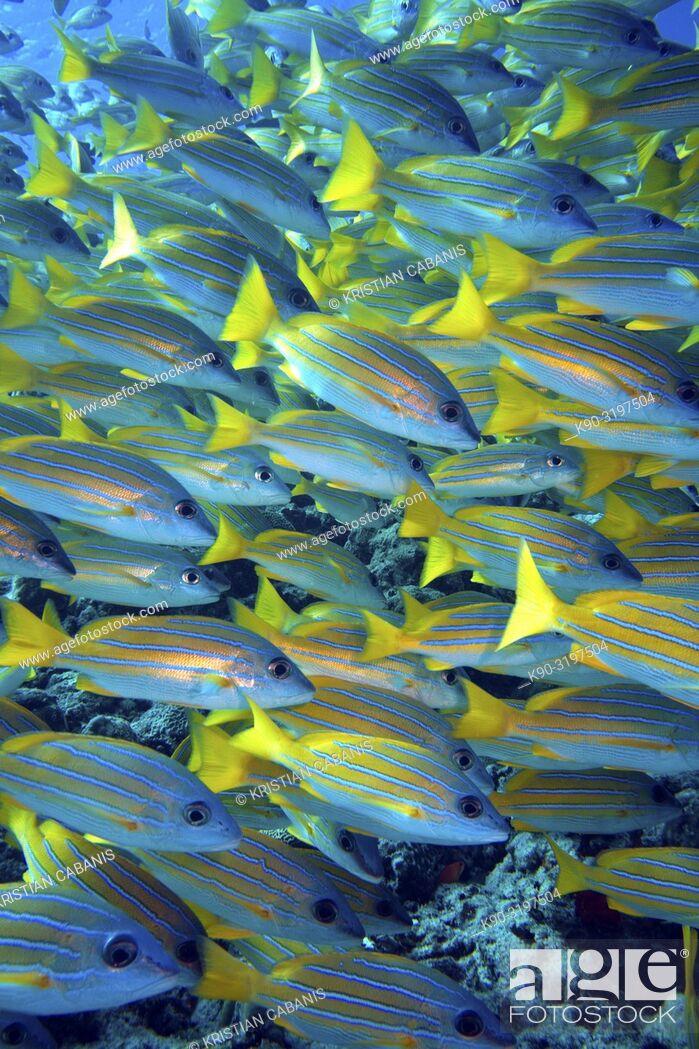 Stock Photo: School of Bluestripe Snapper (Lutjanus kasmira), Indian Ocean, Maldives, South Asia.