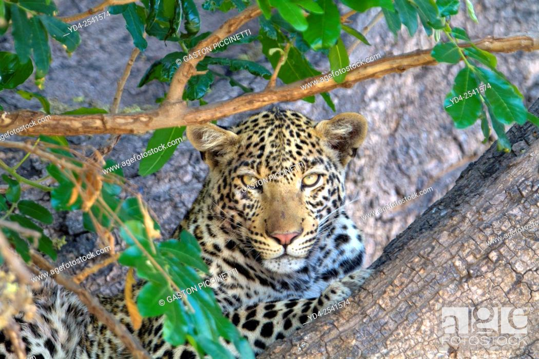 Photo de stock: Leopard (Panthera pardus) - Male, Chobe National Park, Botswana.
