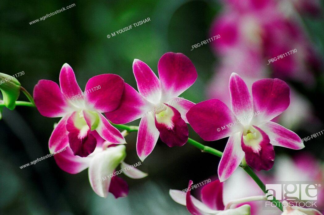 Stock Photo: Orchid Himantoglossum adriaticum flower, Bangladesh.