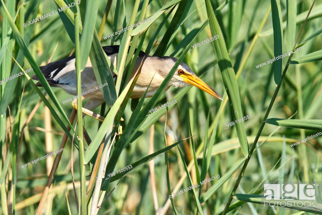 Stock Photo: Little bittern ixobrychus minutus adult male  Spain.