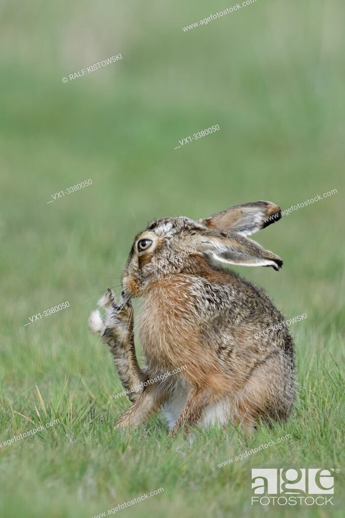 Stock Photo: Brown Hare / European Hare / Feldhase ( Lepus europaeus ) scratching its nose with hind leg, showing its huge toes, grooming, looks funny, wildlife, Europe.