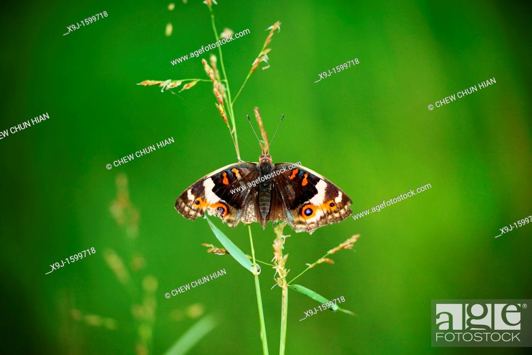 Stock Photo: Butterfly, Blue pansy Junonia orithya wallacei, Borneo, Asia.