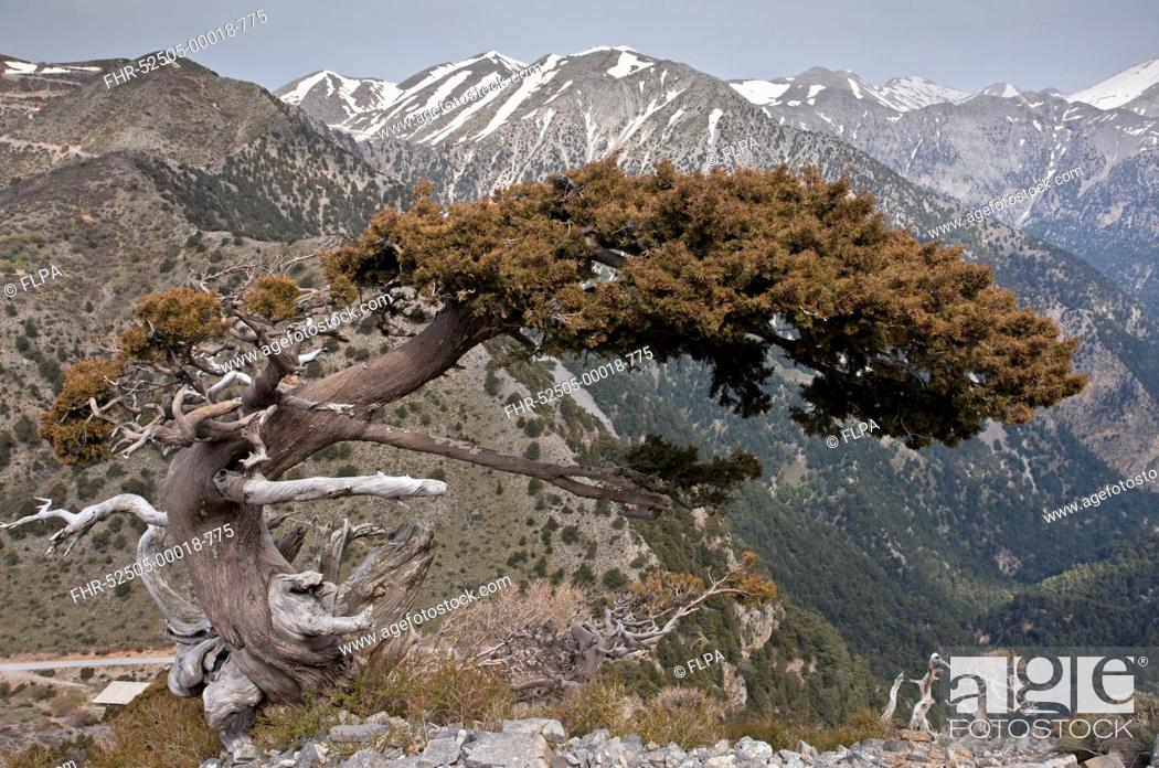 Stock Photo: Italian Cypress (Cupressus sempervirens forma horizontalis) native ancient tree, habit, growing in mountain habitat, White Mountains, Crete, Greece, April.