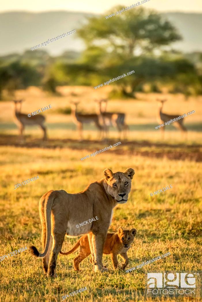 Imagen: Lioness and cub (Panthera Leo) face camera near Impala (Aepyceros melampus) harem, Grumeti Serengeti Tent Camp, Serengeti National Park; Tanzania.