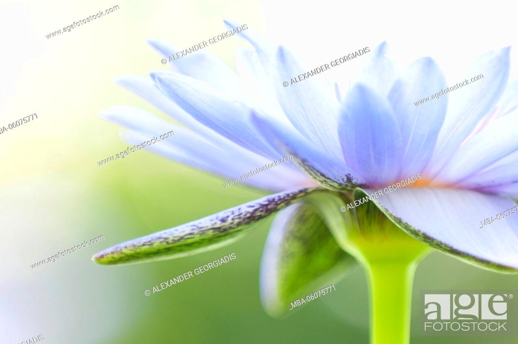 Stock Photo: Water lily hybrid.