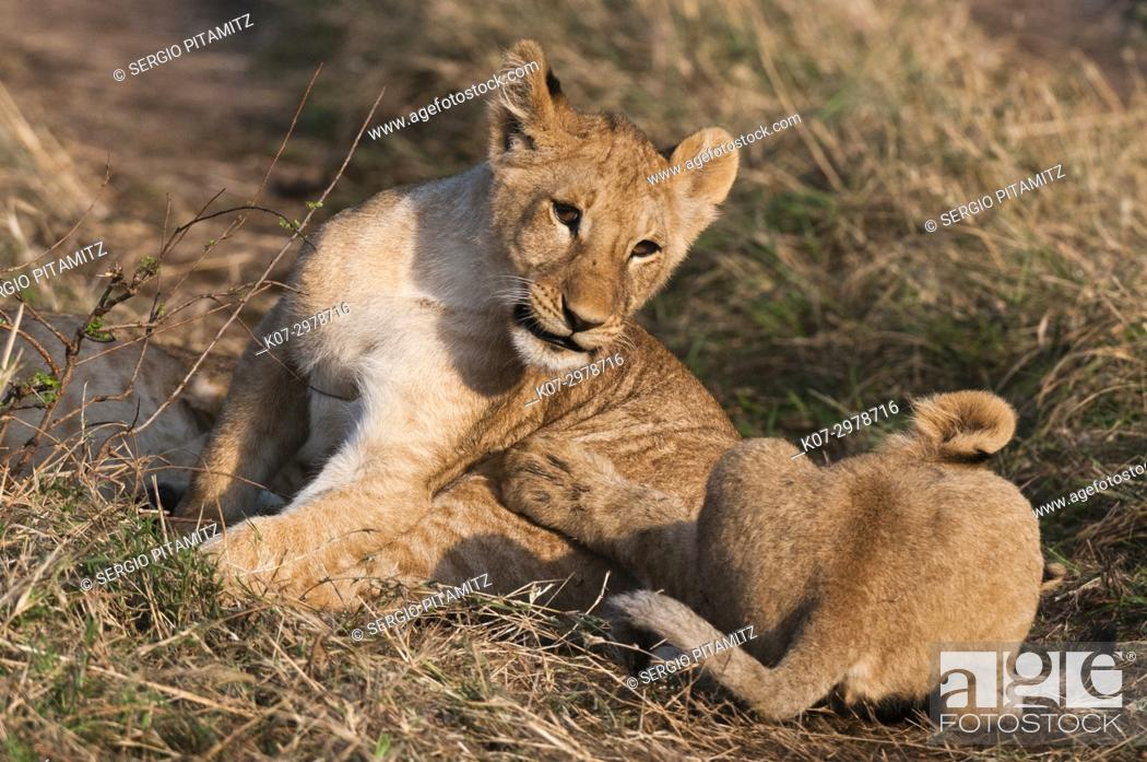 Stock Photo: Lion (Panthera leo), Masai Mara, Kenya.