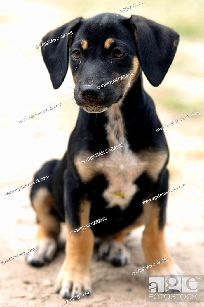 Stock Photo: Young dachshund waiting for his owner to get some food, Pigeon Point, Island of Tobago, Republic of Trinidad and Tobago.