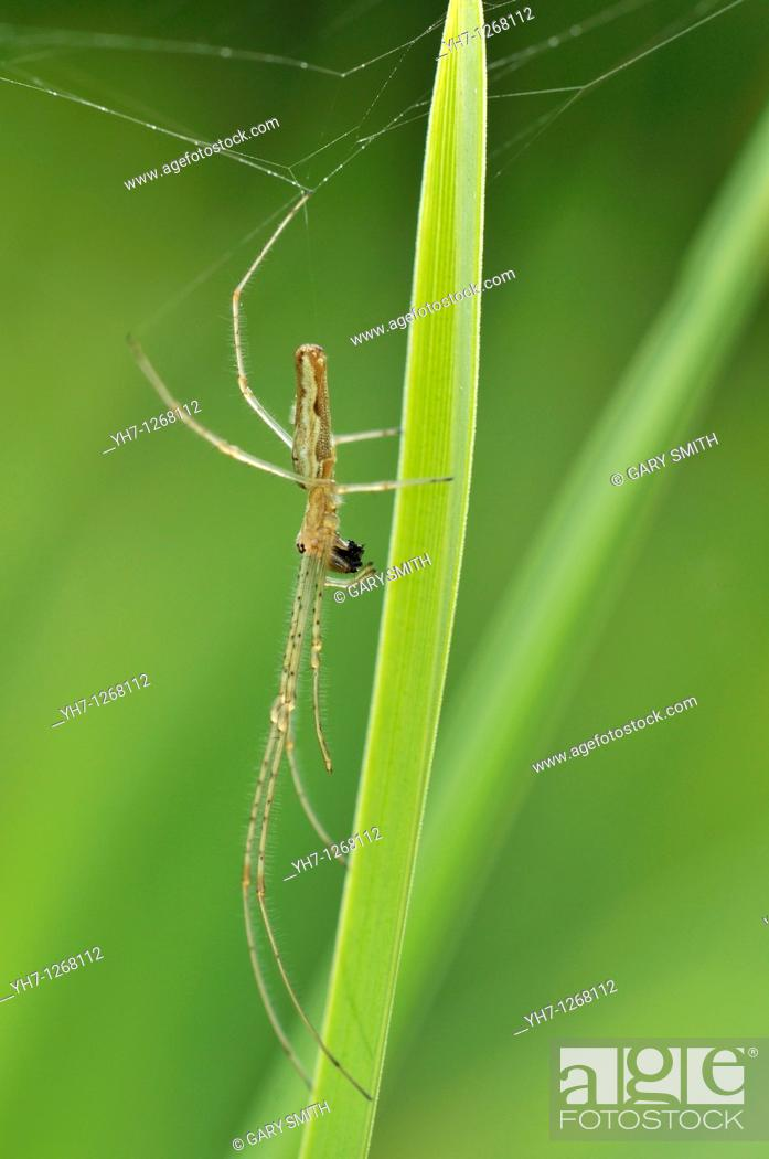 Stock Photo: Spider, Tetragnatha extensa, common stretch spider, long jawed spider, with prey on reed stem by garden pond, Norfolk, UK,.