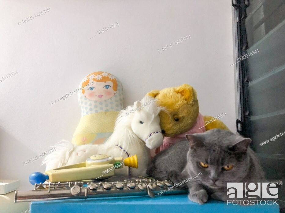 Stock Photo: British Shorthair cat with toys and musical instrument.