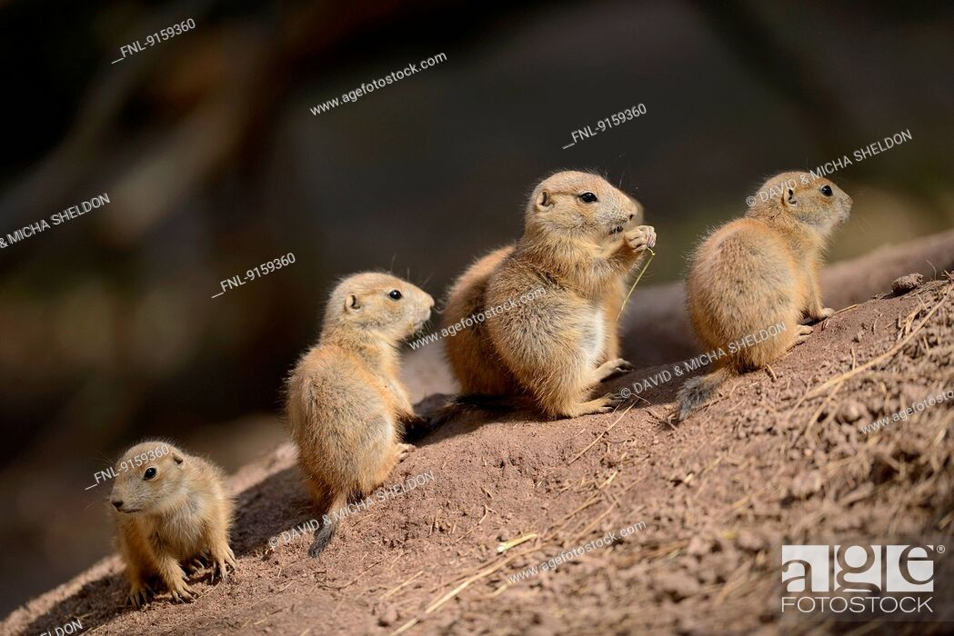 Stock Photo: Group of black-tailed prairie dog youngsters.