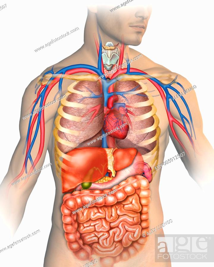 Stock Photo: Illustration describing the anatomy of the human body which are mainly represented major arteries and veins, respiratory and digestive.