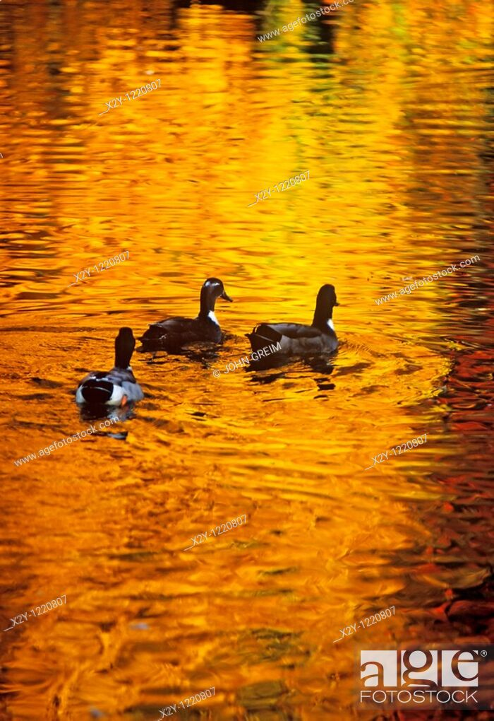 Stock Photo: Ducks on a pond with golden reflections of autumn.