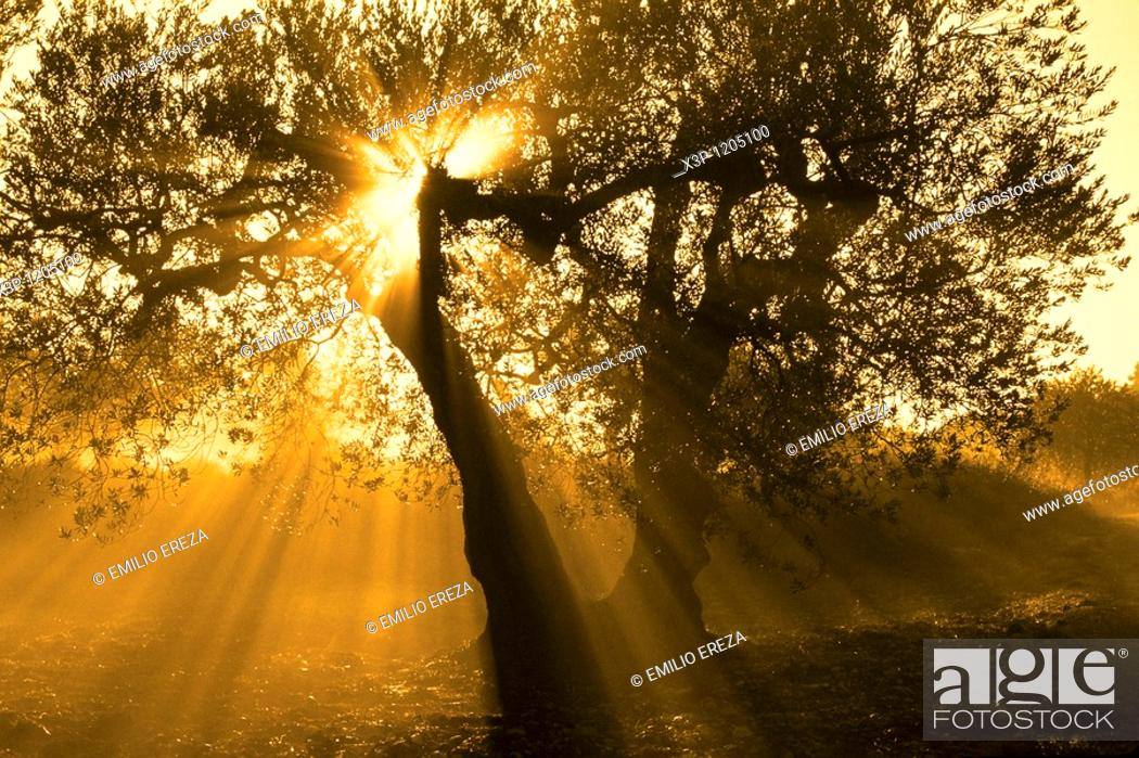 Stock Photo: Olive tree and sunset.