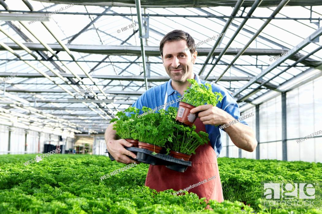 Stock Photo: Germany, Bavaria, Munich, Mature man in greenhouse with parsley plants.