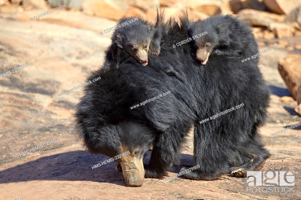Stock Photo: Asia, India, Karnataka, Sandur Mountain Range, Sloth bear (Melursus ursinus), mother with baby, mother carrying babies on the back.