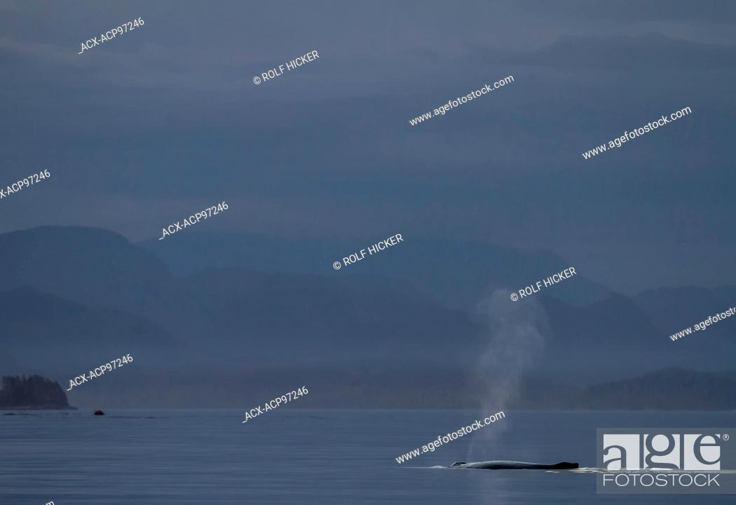 Stock Photo: Humpback Whale (Megaptera novaeangliae) spouting peacefully after sunset in front of the British Columbia Coastal Mountains, Broughton Archipelago.