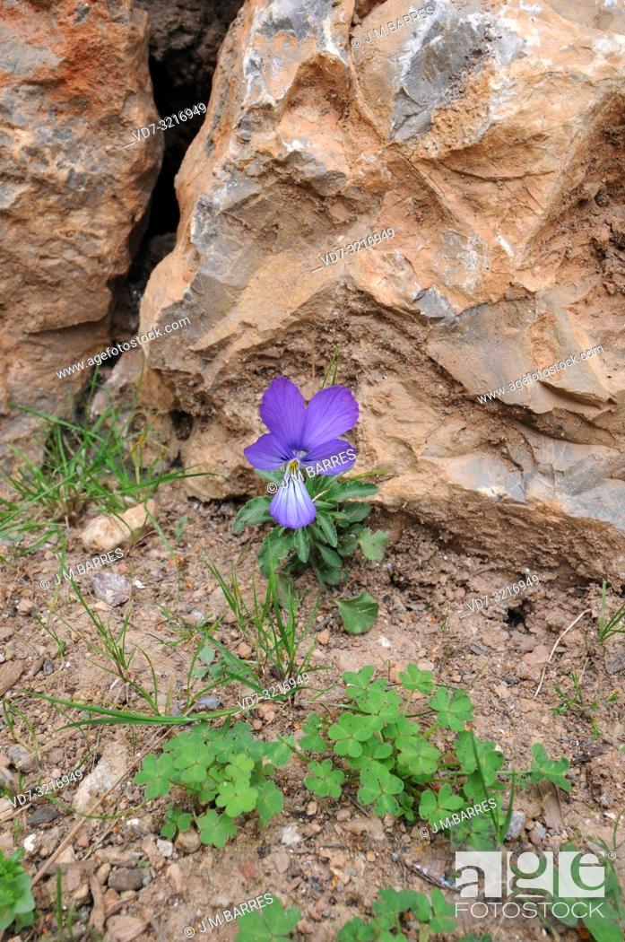 Stock Photo: Corsica pansy or Corsica violet (Viola corsica) is a perennial herb native to Corsica and Sardinia.