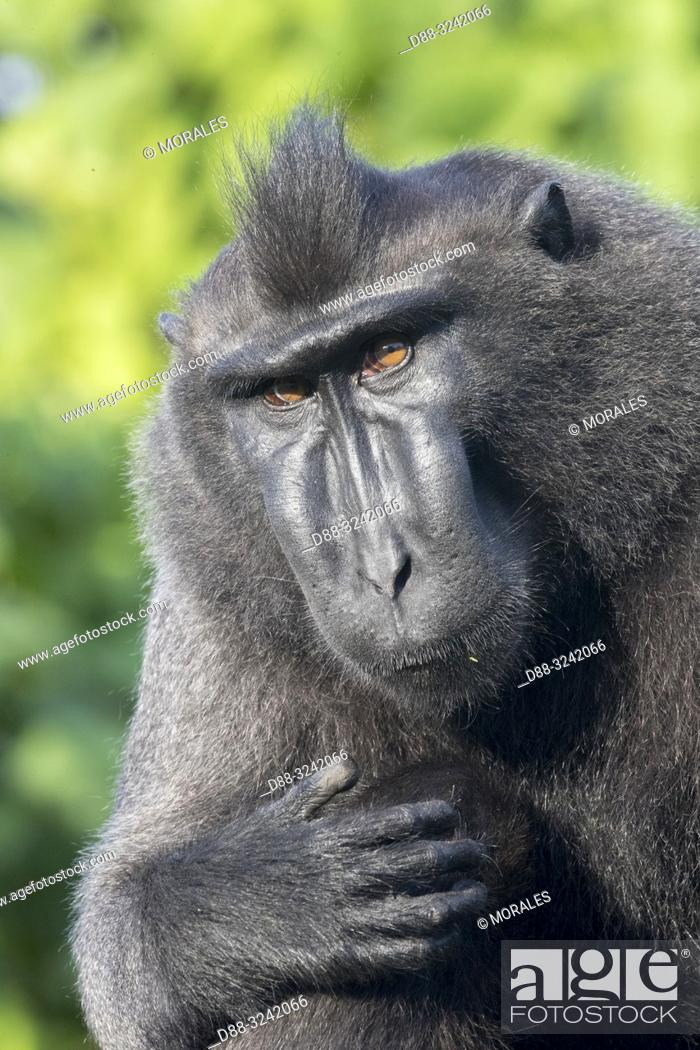 Stock Photo: Asia, Indonesia, Celebes, Sulawesi, Tangkoko National Park, Celebes crested macaque or crested black macaque, Sulawesi crested macaque.