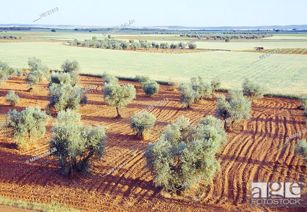 Stock Photo: Olive grove and cereal field. Ciudad Real province, Castilla La Mancha, Spain.