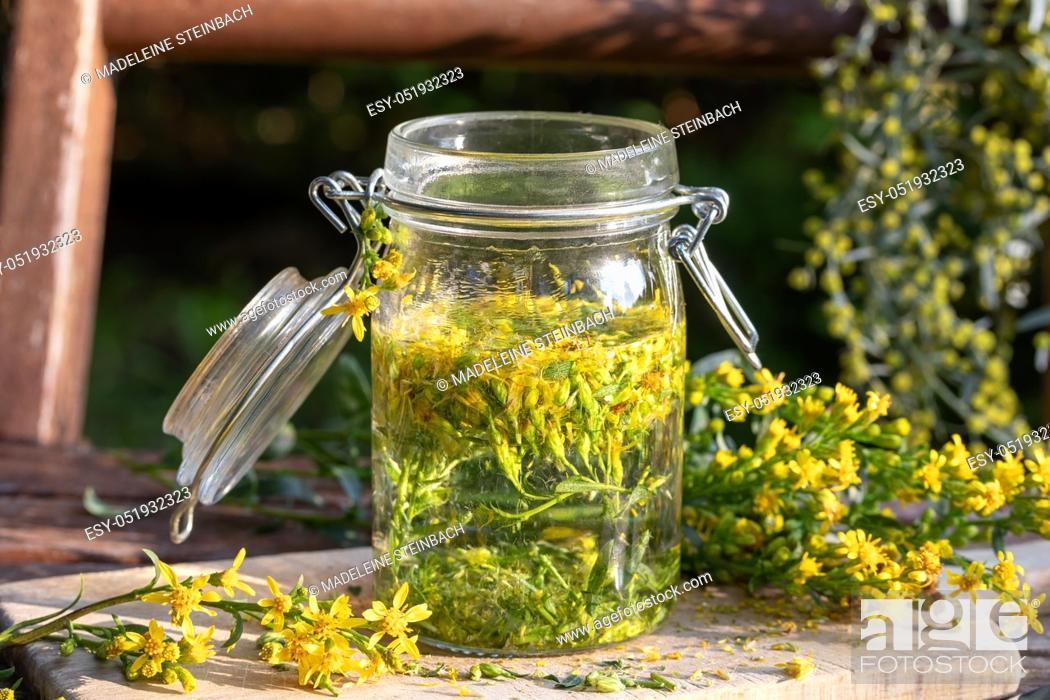 Stock Photo: Preparation of herbal tincture from fresh European goldenrod, or Solidago virgaurea plant.