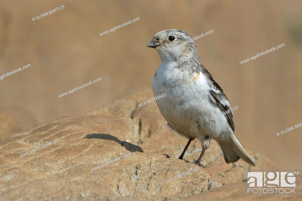 Stock Photo: Snow Bunting Plectrophenax nivalis perched on the ground in Churchill, Manitoba, Canada.