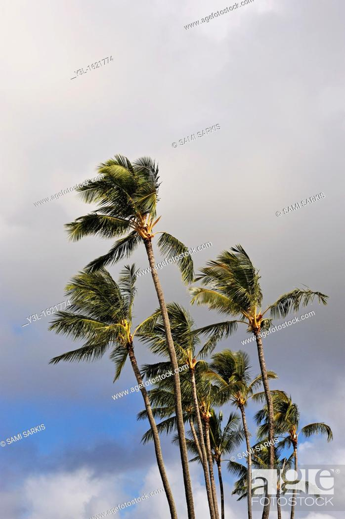 Stock Photo: Plam trees at sunrise, Kauai Island, Hawaii Islands, USA.