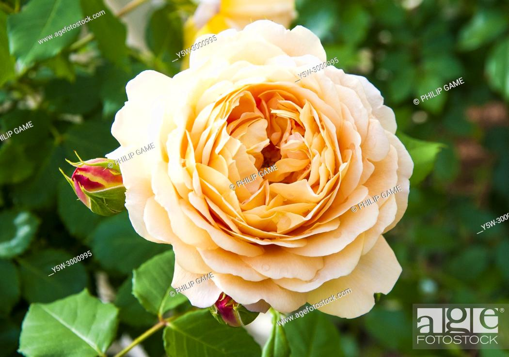 Stock Photo: Bred by David Austin, 'Golden Celebration' has been described as one of the finest English Roses.