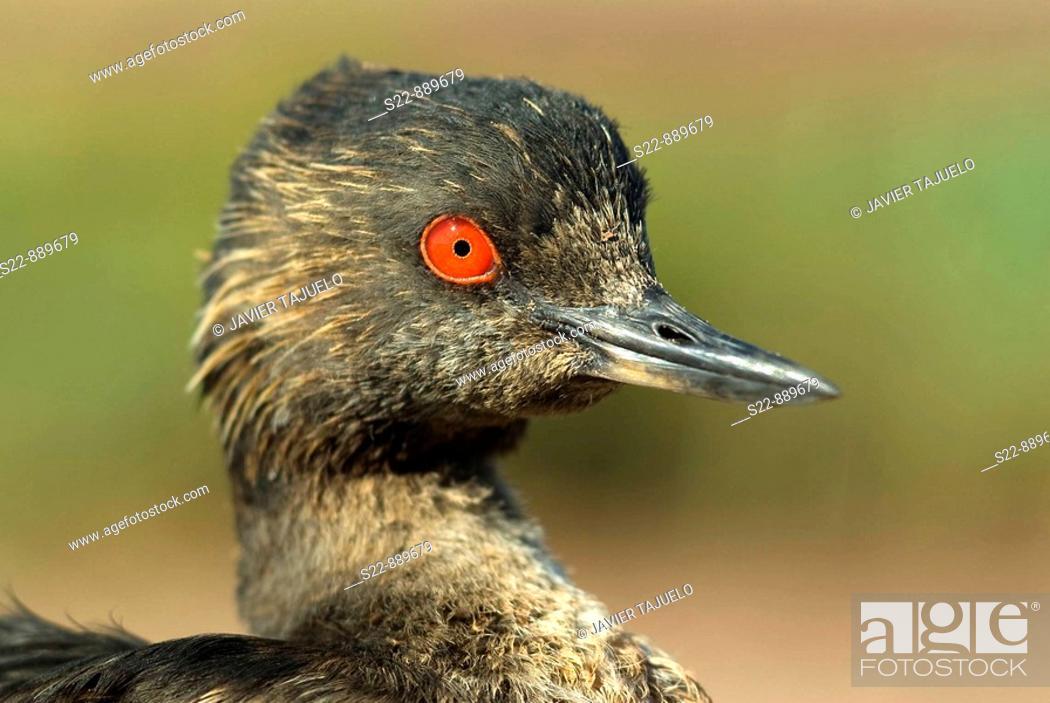 Stock Photo: Black-necked Grebe (Podiceps nigricollis).