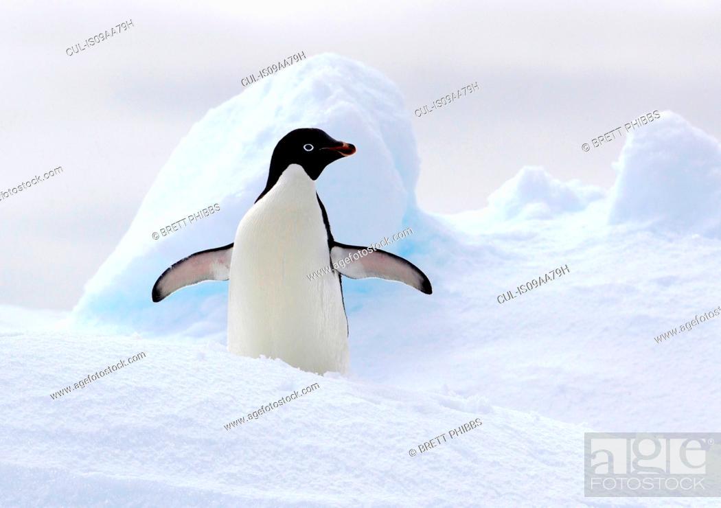 Imagen: Adelie Penguin on ice floe in the southern ocean, 180 miles north of East Antarctica, Antarctica.