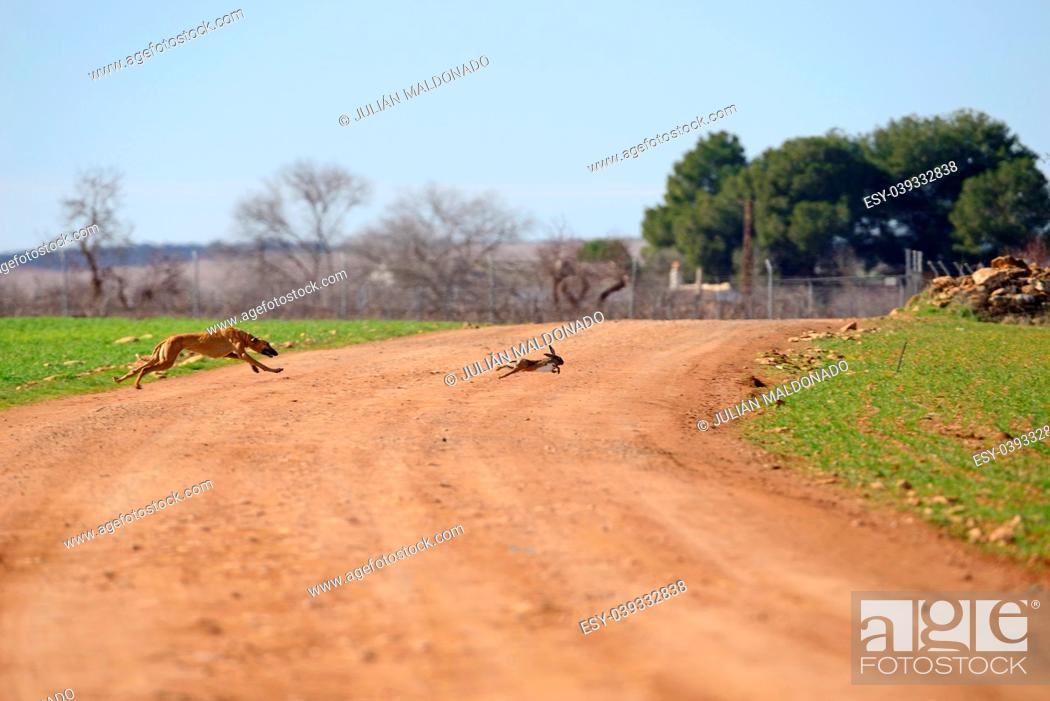 Stock Photo: Greyhounds running behind a Hare on a hunting day in Almagro, Spain.