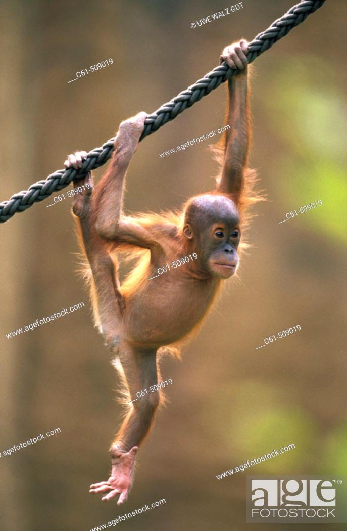 Stock Photo: Sumatra Orangutan cub (Pongo pygmaeus abelii).