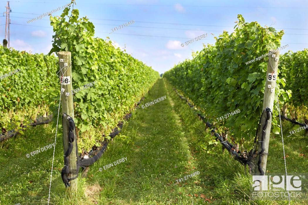 Stock Photo: vineyards.
