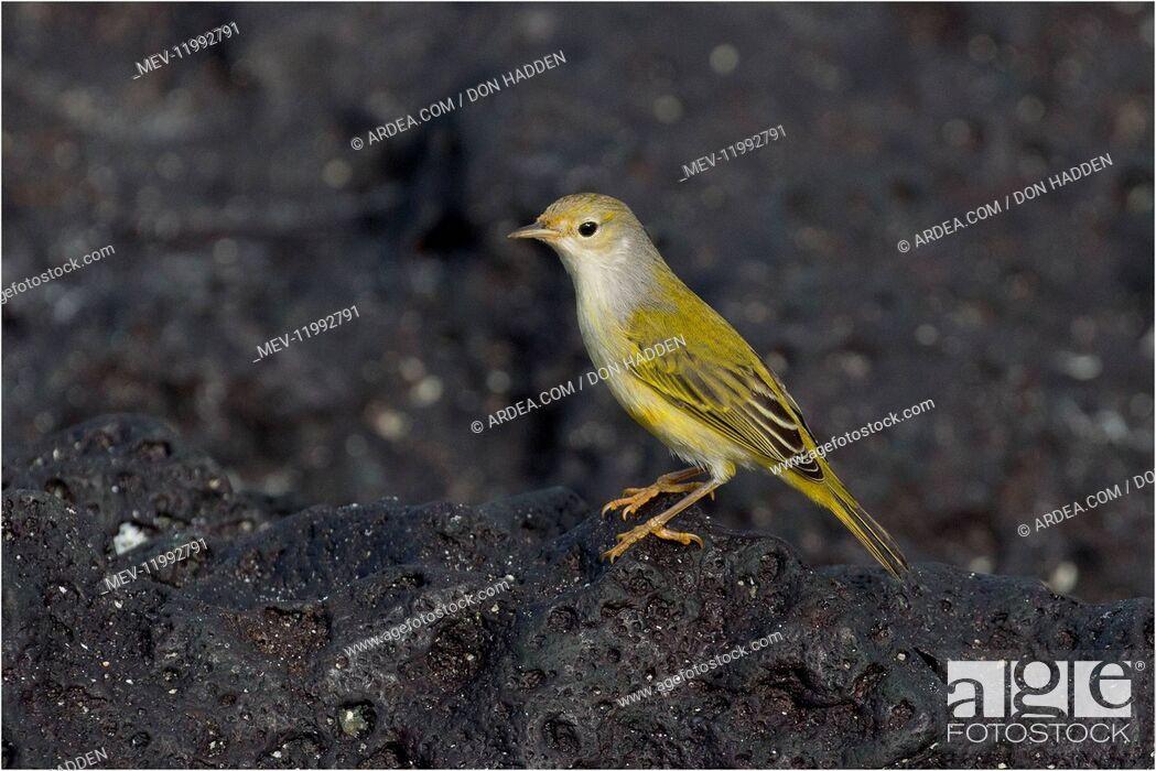 Stock Photo: Yellow Warbler - Perched on a rock - Garner Bay - Espanola Island - Galapagos Islands Yellow Warbler - Perched on a rock - Garner Bay - Espanola Island -.