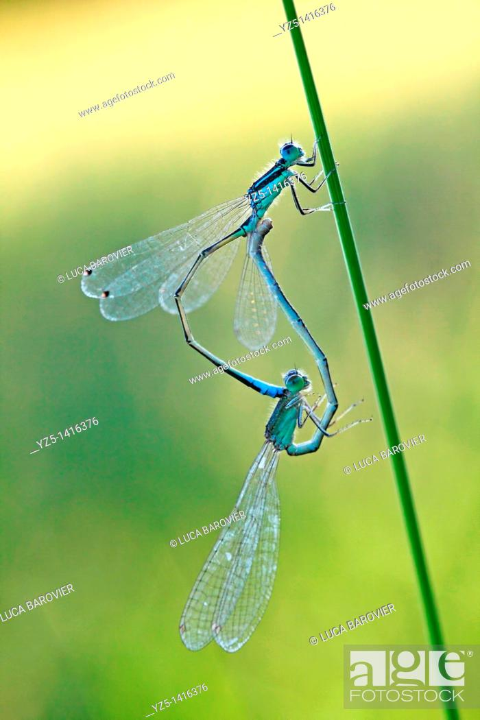 Stock Photo: Ischnura elegans - Blue tailed damselfly - Coupling.