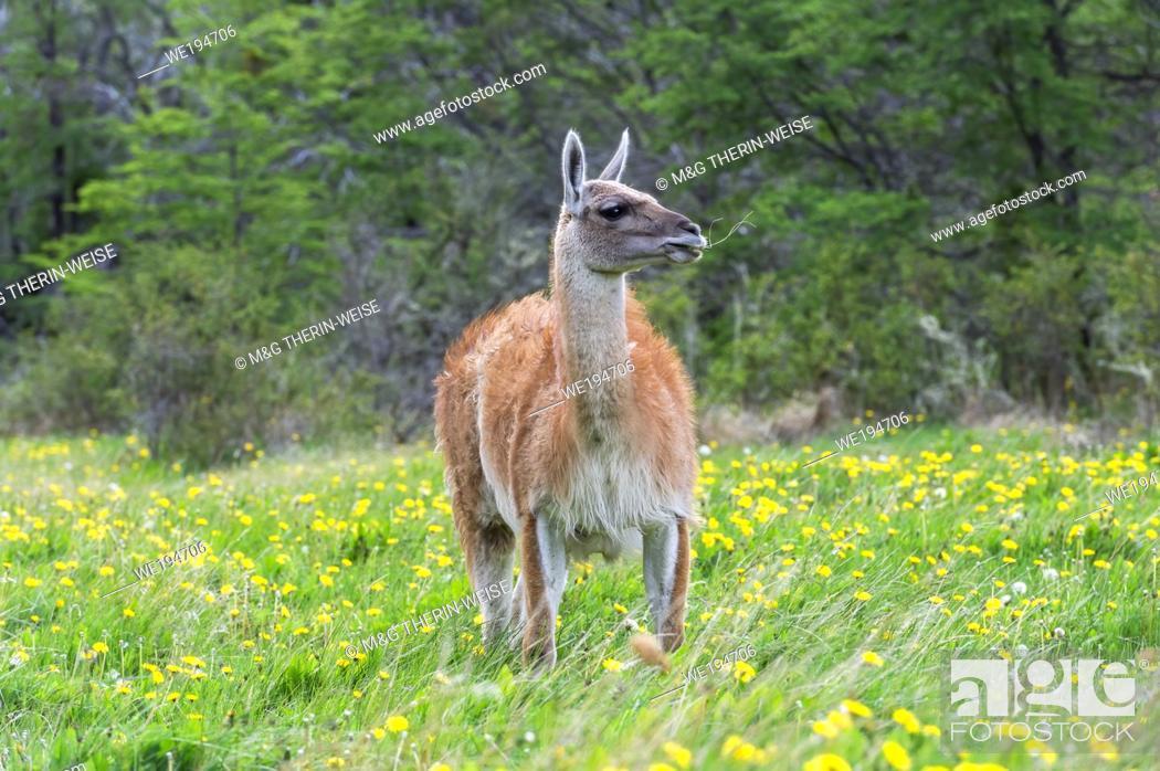 Stock Photo: Guanaco (Lama guanicoe), Patagonia National Park, Chacabuco Valley, Aysen Region, Patagonia, Chile.