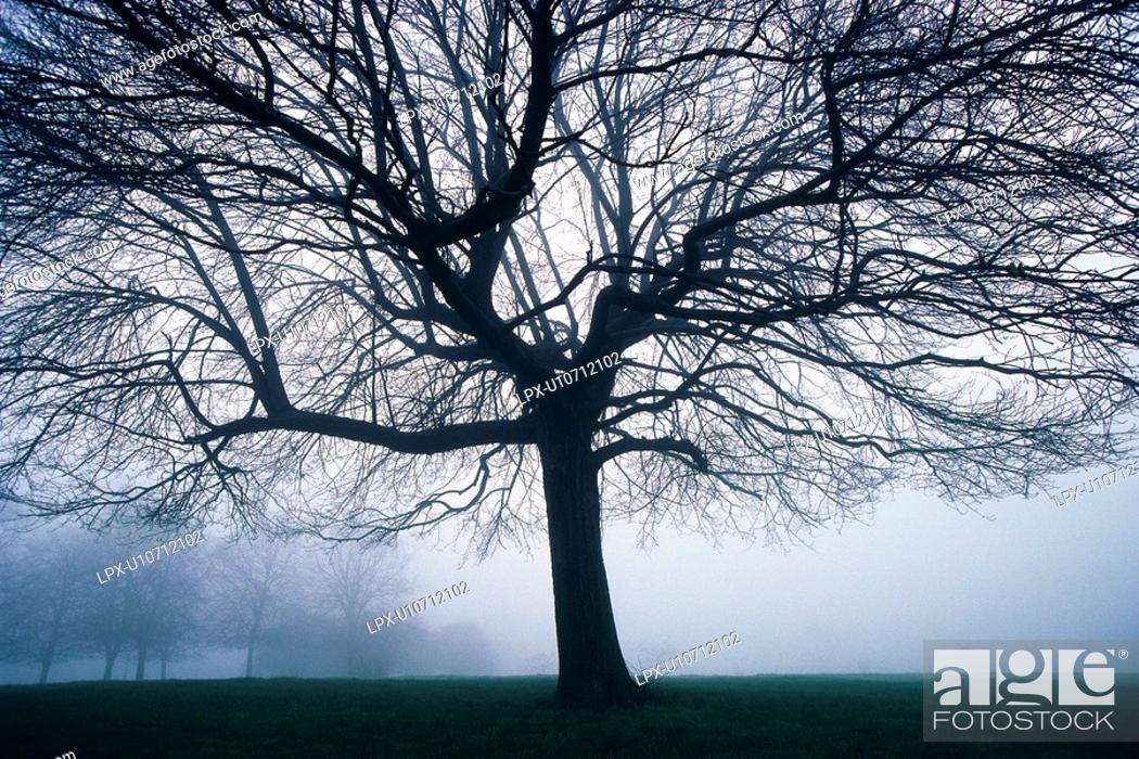 Stock Photo: Tree in the Fog, Front View, Pan Focus.
