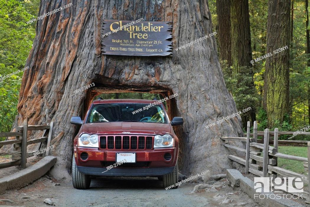 Imagen: Jeep drives through a Redwood (Sequoia sempervirens) in the Chandelier Drive-Thru Park, California, USA.