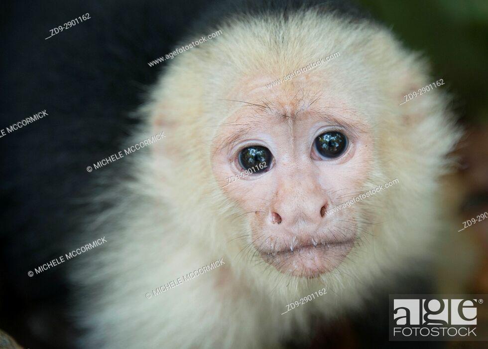 Stock Photo: A capuchin monkey's gaze, Honduras, 5/16.