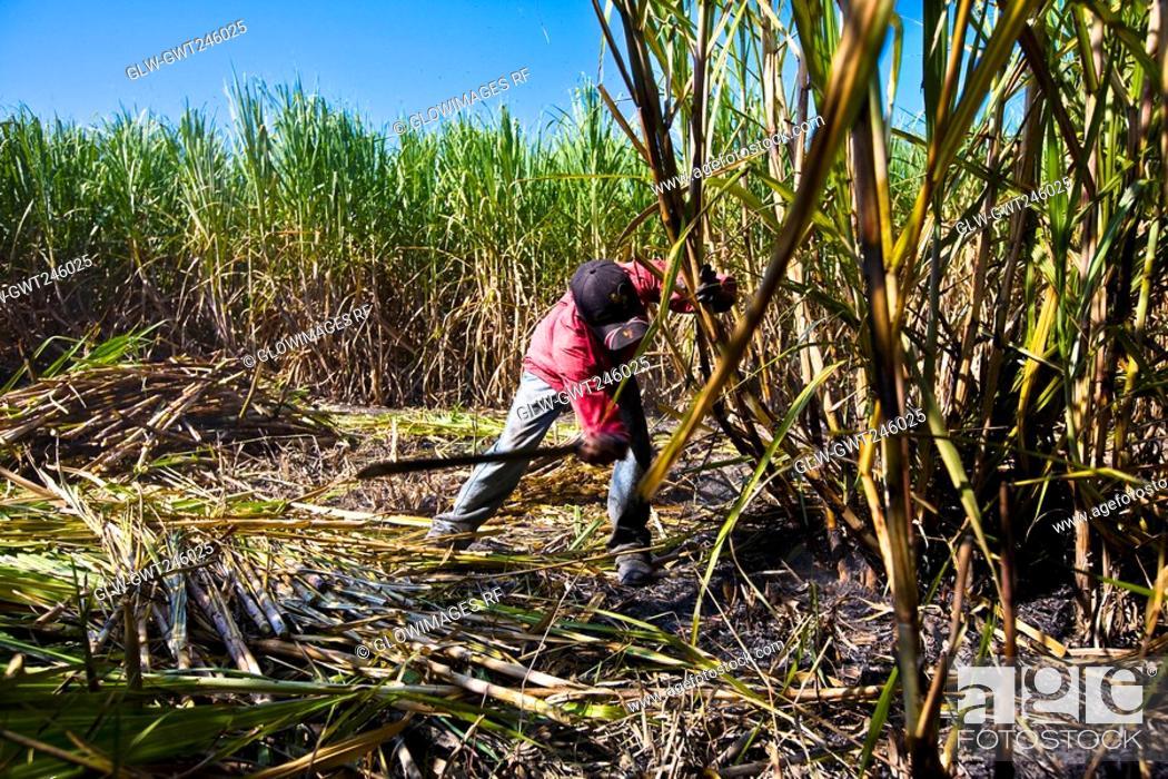 Stock Photo: Farmer harvesting sugar canes in a field, Tamasopo, San Luis Potosi, San Luis Potosi State, Mexico.
