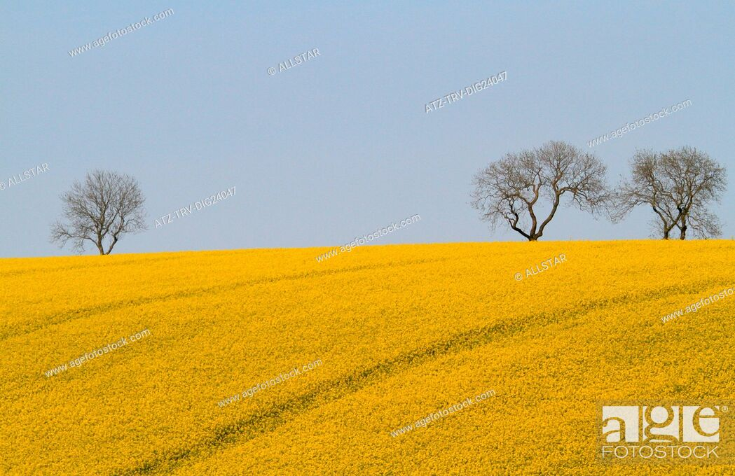 Stock Photo: YELLOW RAPESEED FIELD & TREES; EAST AYTON, SCARBOROUGH, NORTH YORKSHIRE; 19/05/2014.